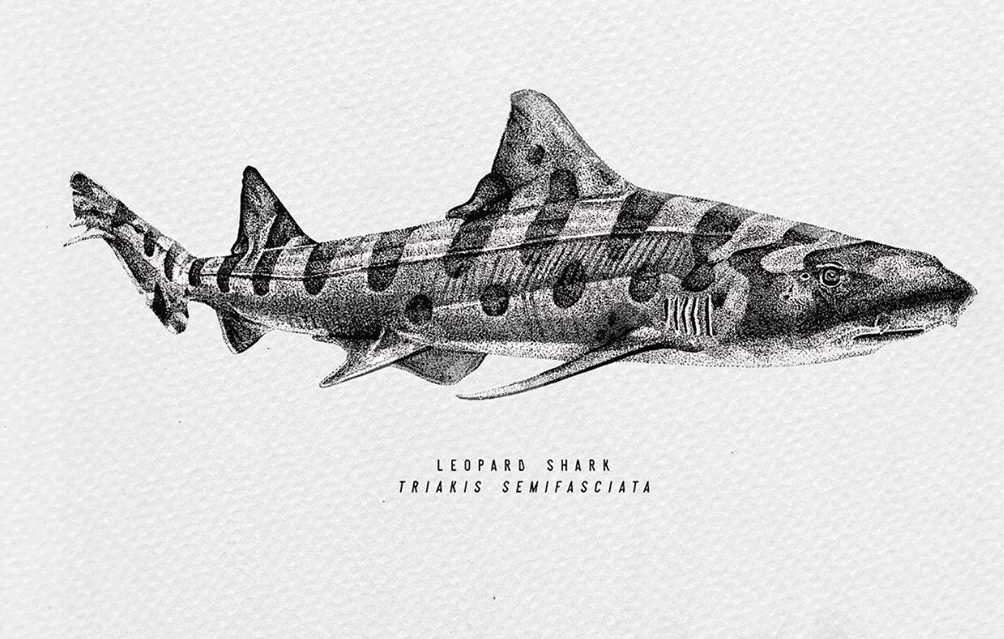 leopard shark drawing