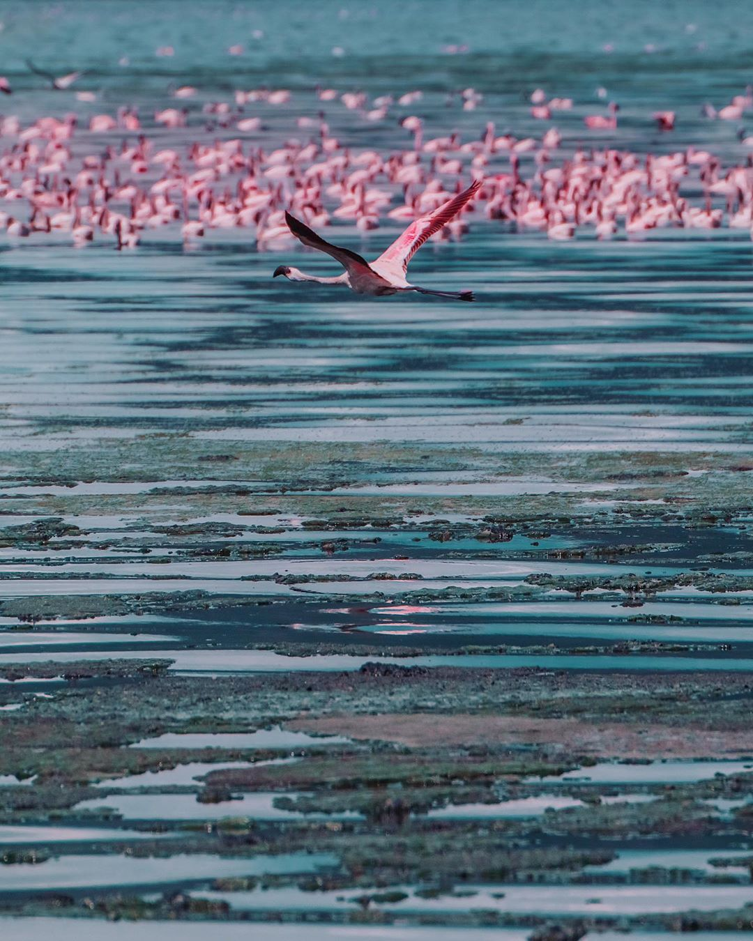 Pictures of real flamingos