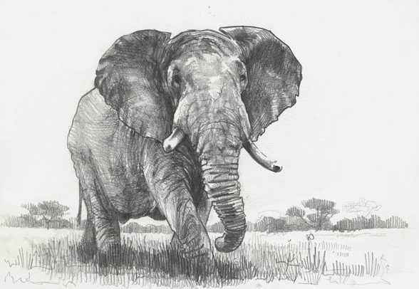 elephant drawing pencil sketch