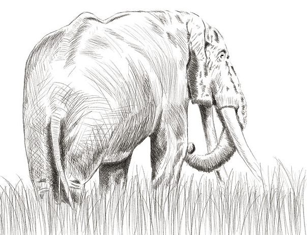 how to draw elephant with pencil