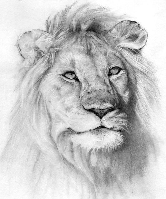20 Easy Lion Drawing Step By Pencil How To Draw Lion Do It Before Me Frequent special offers and discounts up to 70% off for all products! 20 easy lion drawing step by pencil