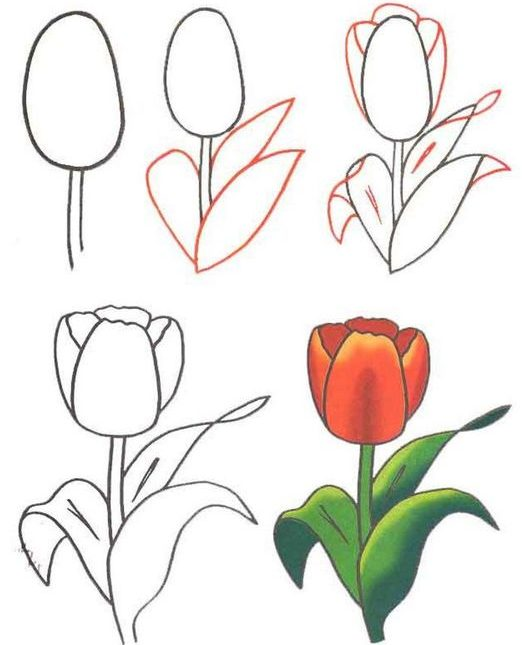 Tulip flower drawing step by step